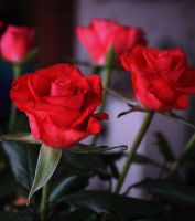 Roses gladden the heart by GLO-HE