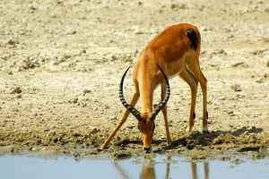 Impala Drinking at the River by CunisiaInc