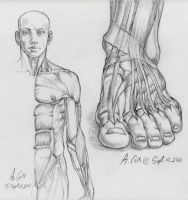 Anatomy-Foot Frontal View by andrewcox