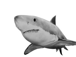 Great White Shark by HoustonTxArtist