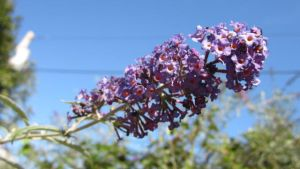 Butterfly Bush by poetrylion93