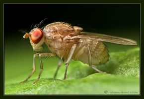 Good looking fly. by israelfi
