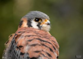 American Kestrel 7 by EdgedFeather