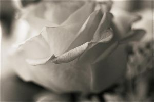 white rose 7 by inyourlove