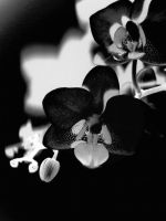 Black and white orchid by ThereseBorg
