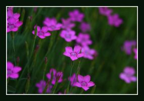 Pink Blossoms by greenwalled1