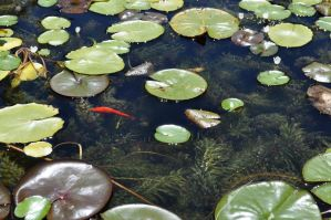 Lily Pads and Golden Fish by Firepoppy