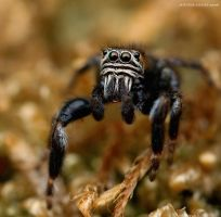 133.Jumping spider by Bullter