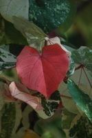 heart-shaped leaf by meihua-stock