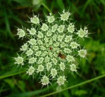 Queen Anne's Lace by EruwaedhielElleth