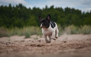 french bulldog 11 by mikkolo77