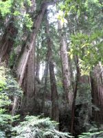 Muir Woods 2 by your-mom--burn