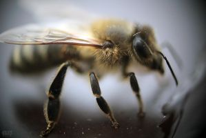 Apis mellifera by HappinessEater