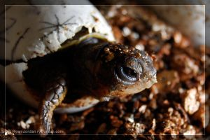 Baby Box Turtle by theperfectlestat