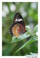 Malay Lacewing by Tazzy-