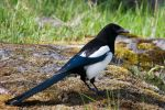 Magpie summer by TomiTapio