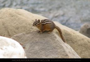 Yellow Pine Chipmunk 2 by SalsolaStock
