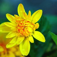 .:Yellow flower:. by BlueColoursOfNature