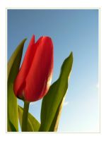 Tulip by ace-of-finland