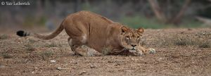 lioness stealth mode by Yair-Leibovich
