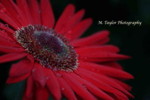 Daisy by MTaylorPhotography