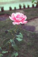 Mom's Rose by ai-chyan