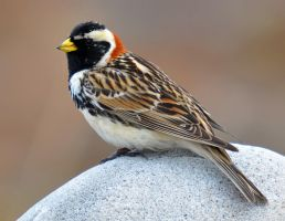 Lapland Bunting VI by nordfold