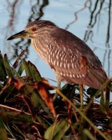 Juvenile Black crowned Night Heron by OpticaLLightspeed