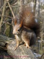 Squirrel 36 by Cundrie-la-Surziere