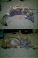 Commisioned coyote legs done by LittleWolfPaw