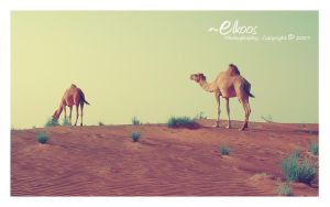 Camels by Elkoos