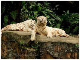 Proud and Pretty White Tiger. by breathofbetrayal