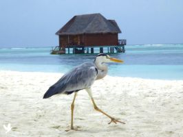 Maldivian Heron by dancpicturez