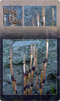 Horsetail Fertile Stems Pack by Baq-Stock