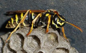 wasp on the nest by cinik33