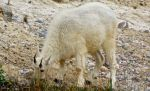 Canadian Mountain Goat by mandy-chris