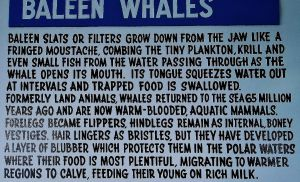 Baleen Whale Facts by LadyGhostEyes
