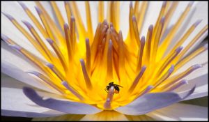 Water Lily with Bug by montygm