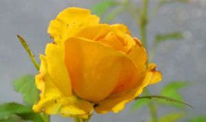 yellow-rose4 by Fotoback