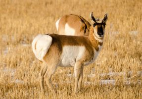 Pronghorn by JestePhotography