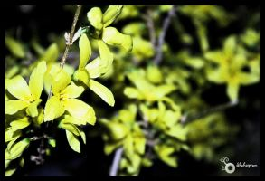 Scents of spring by Shahsepram