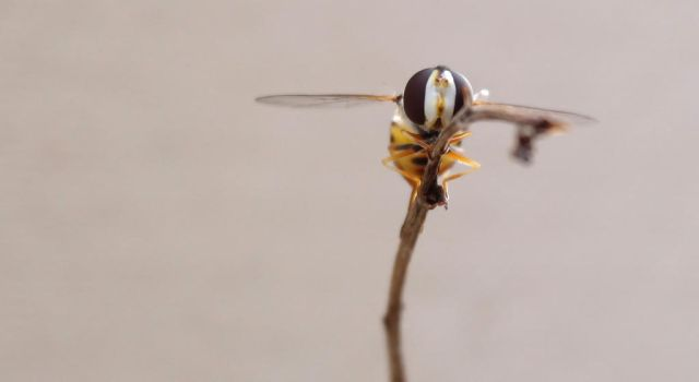 Hoverfly by deranged-flutterby