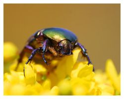 Rose Chafer, macro by selley