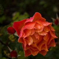another rose by ltiana355