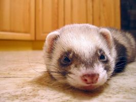Ferret - my pet. by Mad-child