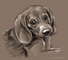 Beagle Puppy Sketch by SavannaW