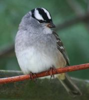 White-Crowned Sparrow by tidesend