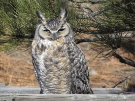 Great Horned Owl by Janmk