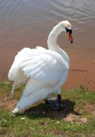 I'm a Swan by The-Rover