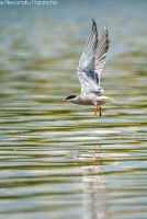 Common tern by AlecsPS